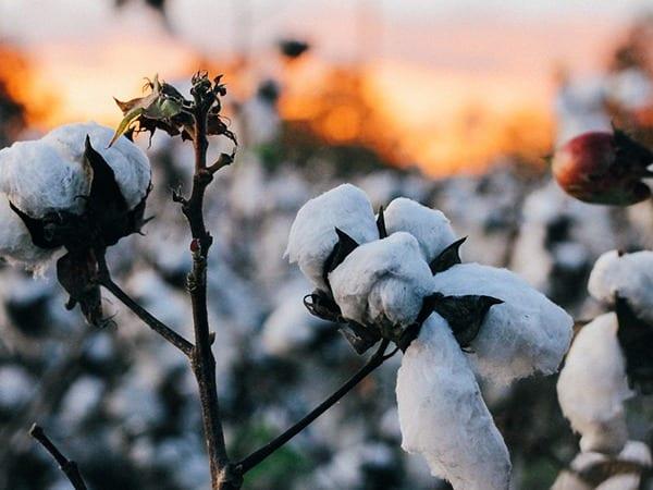 Was zeichnet Bio-Baumwolle aus & wie schont sie die Umwelt