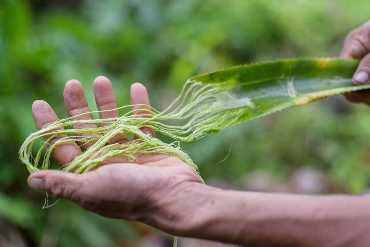 Fasern aus dem Ananasblatt