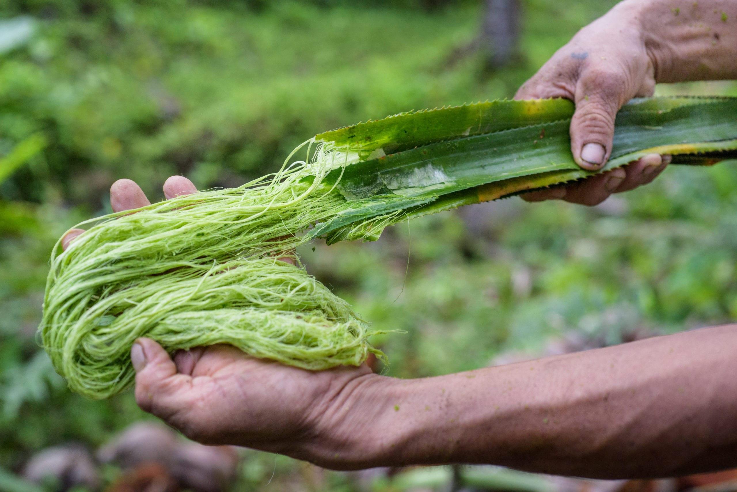 Fasern in Ananasblättern